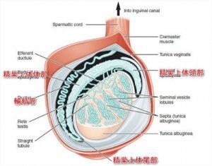 精巣の構造