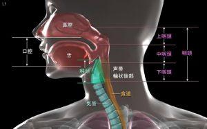 咽頭部分の模式図